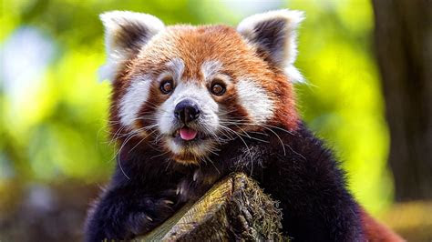 red panda wallpapers  pictures