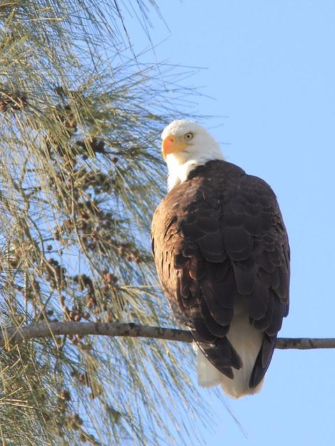 Bald Eagle roosting 20121207