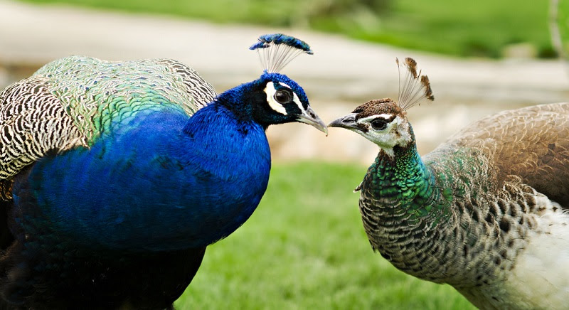 Male and female peacock.  Photo
