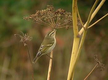English: Yellow-browed Warbler (Phylloscopus i...