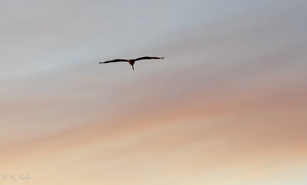 Pelican flying in smoky skies, Carlsbad, California