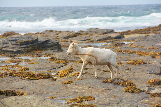 Saving North Ronaldsay's Seaweed-Eating Sheep