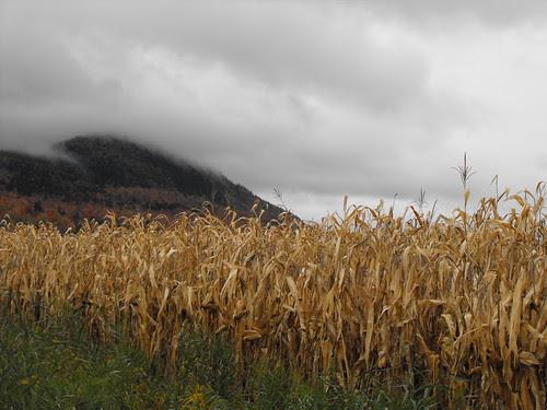 Late fall corn field