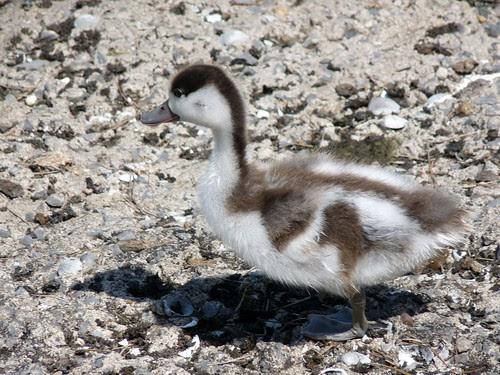 21932 - Shellduck Duckling at WWT
