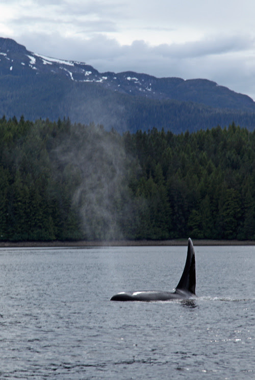 big fin of killer whale, Karta Bay, Alaska