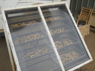 Pumpkin Seeds on Solar Food Dehydrator
