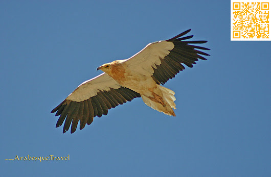 Counting Egyptian Vultures
