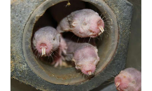Naked mole-rats turn into plants when oxygen is low