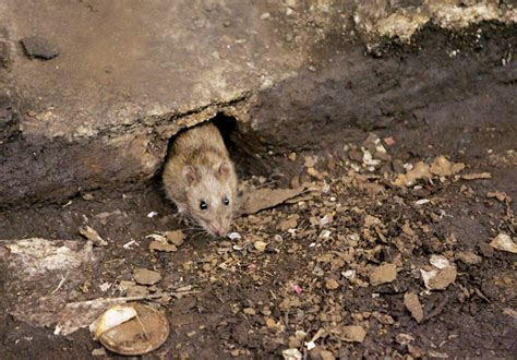 In battle of NYC vs. rats, the rats appear to be winning   CBS News