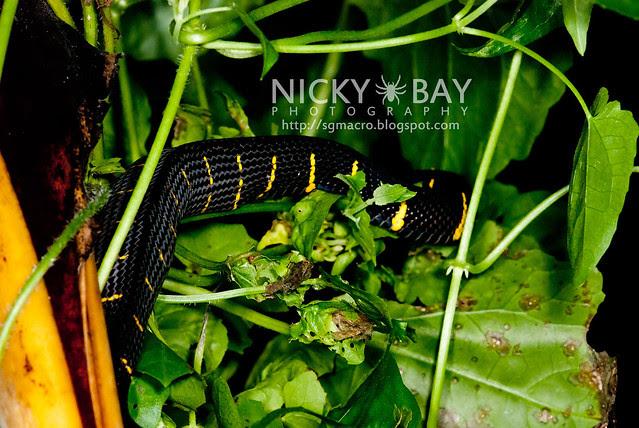 Gold-ringed Cat Snake (Boiga dendrophila) - DSC_9437