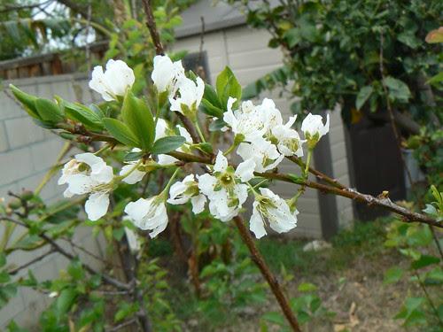 Pluot blossoms