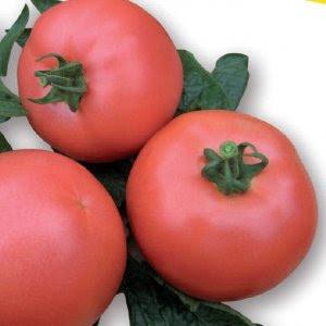 Pomidor Malinowy Vp1 F1 250 Nasion Nasiona Holenderskie Vilmorin
