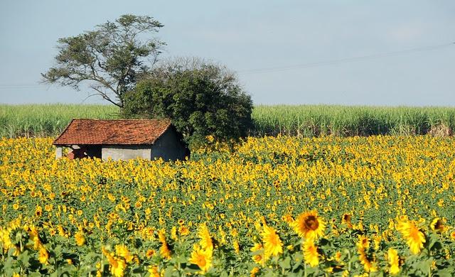 sunflower-370160_640