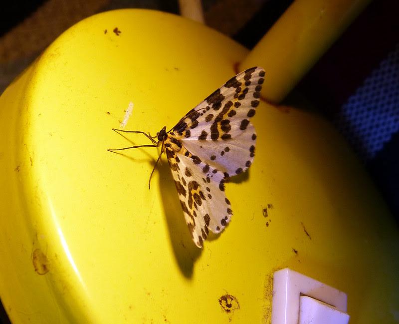 P1050790 - Magpie Moth, Isle of Mull