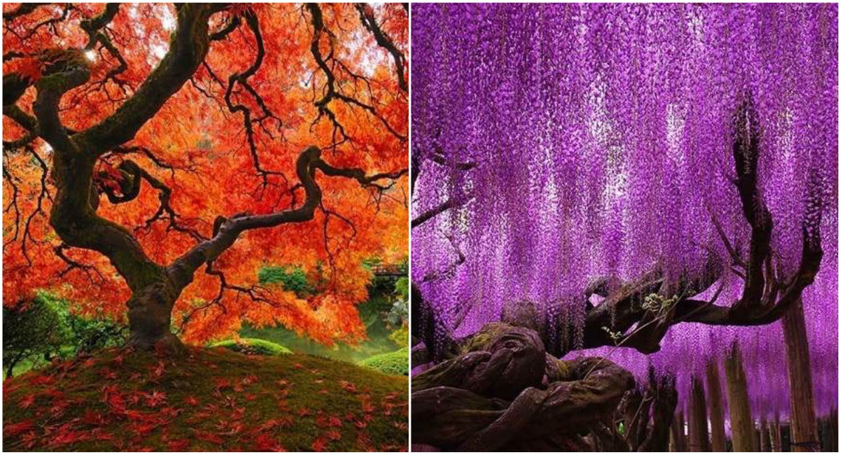 15 Majestuosos Y Bellos árboles Que Adornan Distintos Países Con Sus
