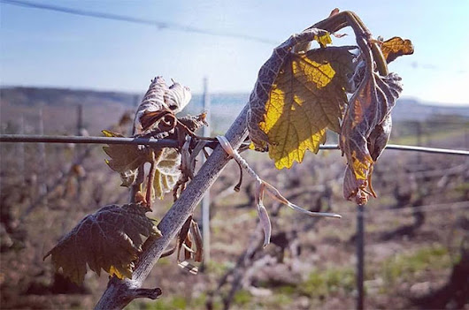 'Fatal' frost hits Champagne vineyards - Decanter