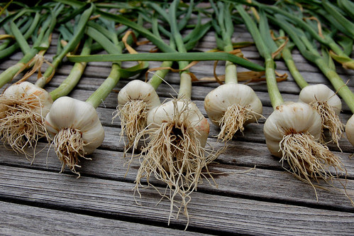 Garlic Drying On Outdoor Table by Eve Fox copyright 2008