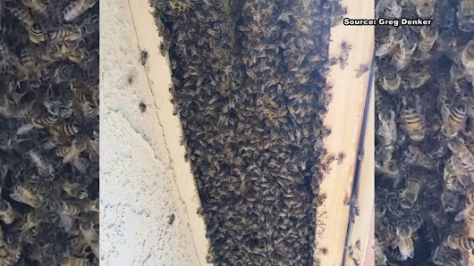 50000 Bees Found In Massive 9foot Long Hive