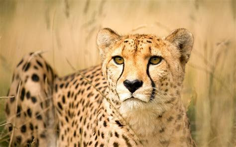 My Cousin the Cheetah: Evolution Made Her Accelerate Faster than a Sports Car