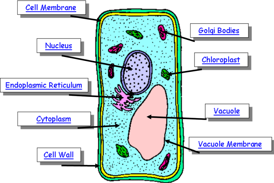 plant%20cell%20diagram%20with%20labels