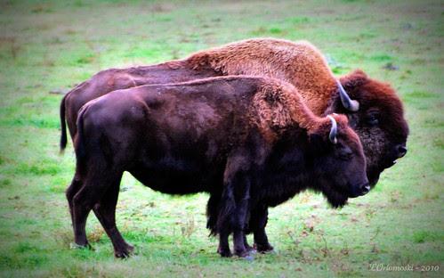 Buffalo - Plural!