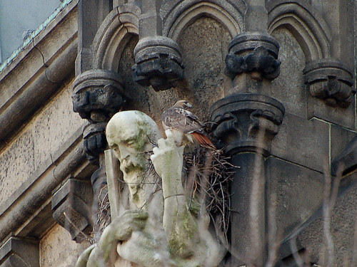 Red-Tailed Hawk and Cathedral Nest