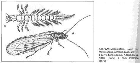 Megaloptera   Schlammfliegen