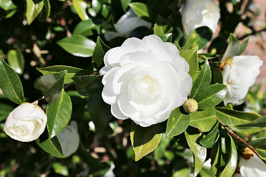Fabulous Fall Blooming Camellias - Sand and Sisal