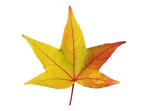 maple daun muncul musim gambar gratis  pixabay