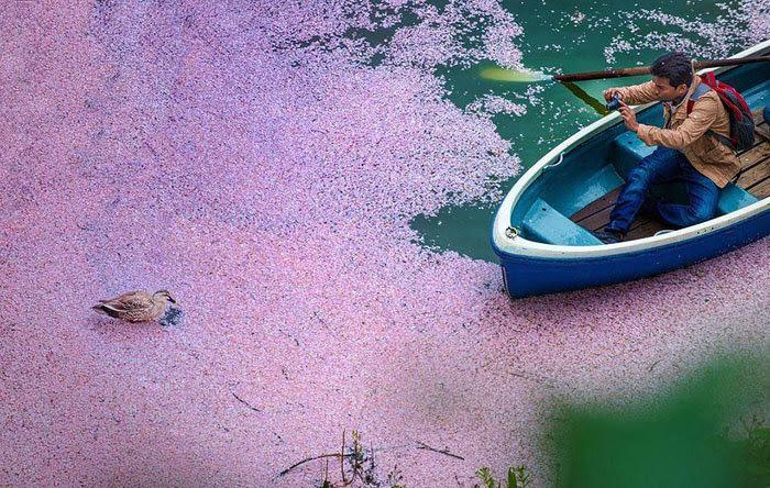 hoa anh đào, mùa hoa, tranh vẽ, du lịch, Nhật Bản