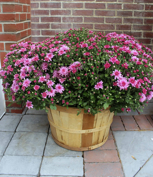 Bushel Basket Mum by Studley's - Studley's Flower Gardens | Flowers, Garden Center and Landscaping