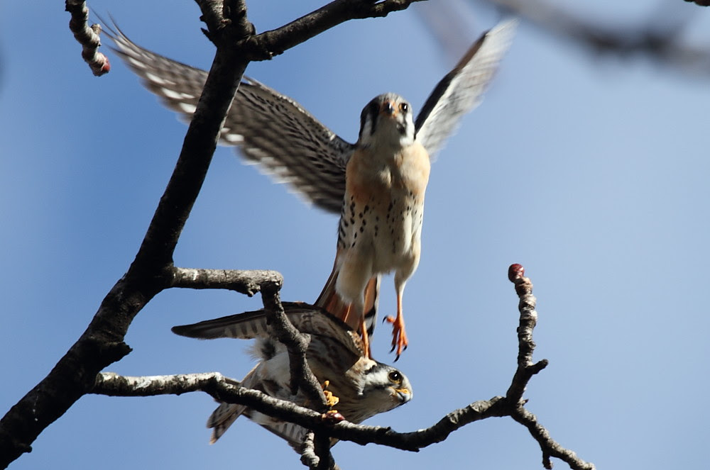The Origin of Kestrels
