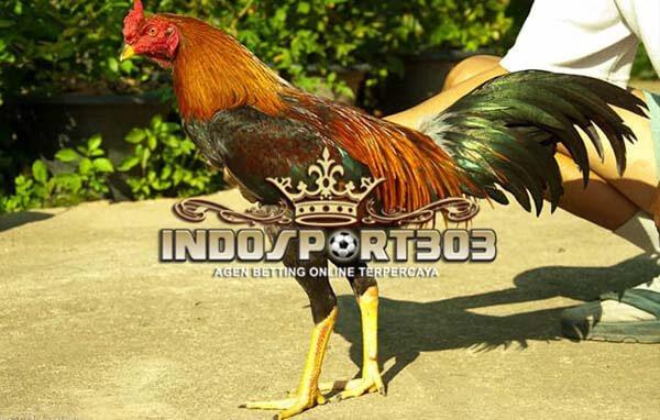 76 Gambar Ayam Turun Urat Terlihat Keren