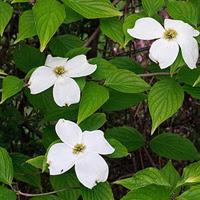Eastern Flowering Dogwood Species At Risk Ontarioca