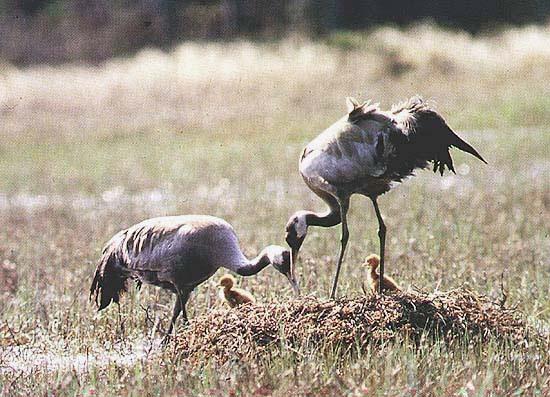 http://genevoute.free.fr/Sitephotos/Oiseaux/Grue/Cendree/GrueNid2.jpeg
