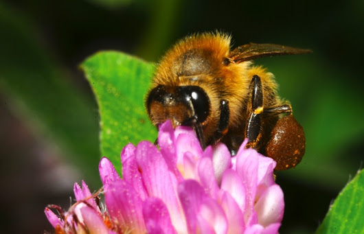 Bumblebees at risk of extinction from neonicotinoid pesticides - OrganicBiz