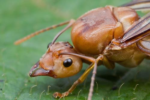 Weaver queen ant...IMG_8781 copy