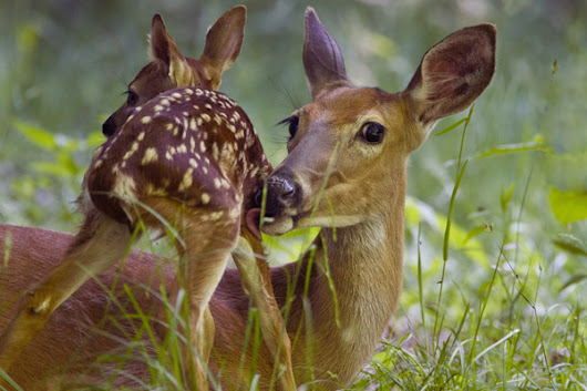 Notes from the Deer Wars: Science & Values in the Eastern Forest