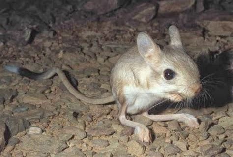 Facts about jerboas (rodents)   Facts About All