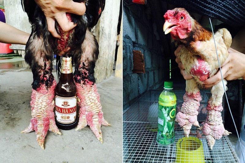 Raça de galinha vietnamita rara tem as pernas mais estranhas que você já viu 07