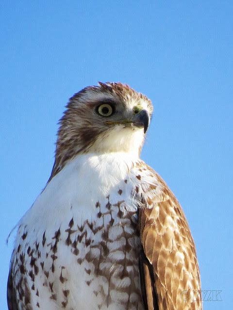 IMG_0461cps Hawk