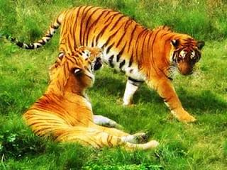 bayangan kita akan tertuju pada hewan lucu penunggu rumah yang pemalas pecies Kucing Terbesar dalam Sejarah