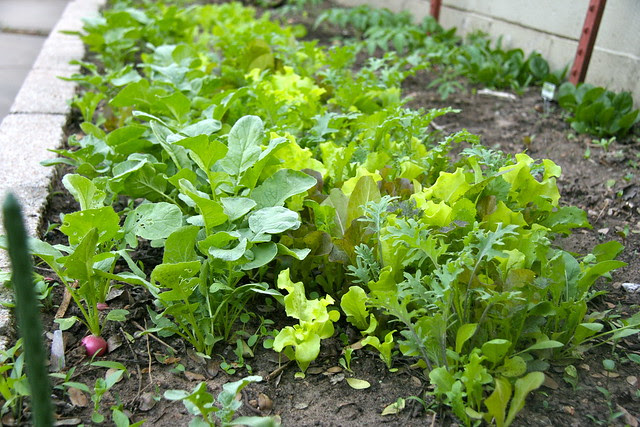 Mesclun Mix and Radishes Growing - 104/365