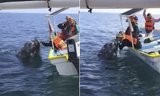 Brave tourist puckers up for a smooch with a WHALE