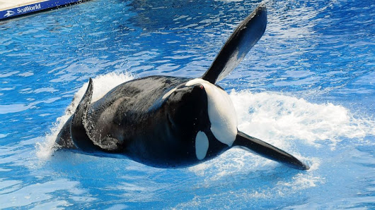 Tilikum, the SeaWorld Killer Whale Featured in 'Blackfish,' Has Died