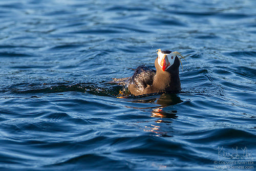 Tufted Puffin, Protection Island National Wildlife Refuge, Washington