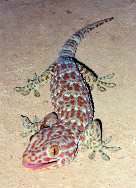 434px-tokay_gecko.jpg