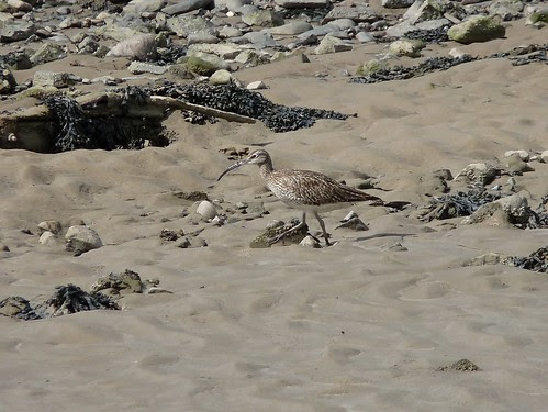 12451 - Whimbrel at Loughor Bridge