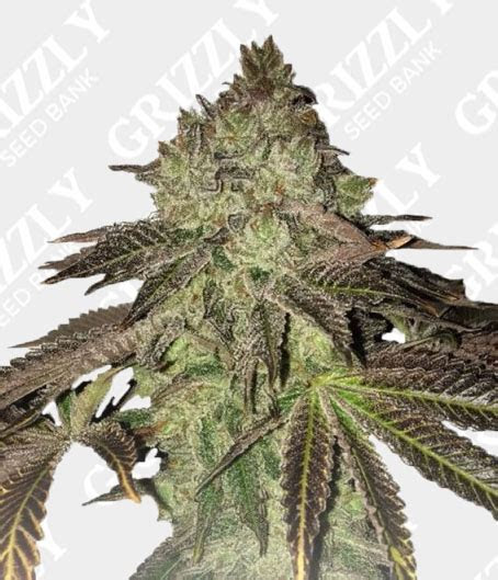 Gelato 33 x Birthday Cake Regular Seeds   Grizzly Seed