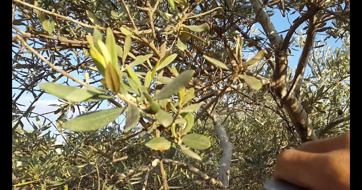 شجرة الزيتون في فلسطين ويكيبيديا Shajara
